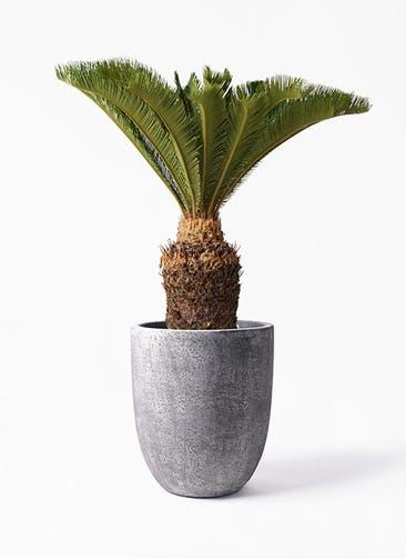 観葉植物 ソテツ 10号 フォリオアルトエッグ ブラックウォッシュ 付き