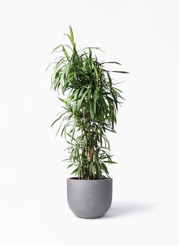 観葉植物 コルディリネ (コルジリネ) ストリクタ 10号 コンカー ラウンド 付き