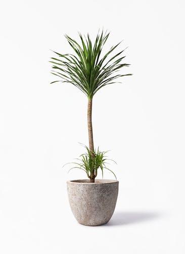 観葉植物 ドラセナ カンボジアーナ 10号 アビスソニア ラウンド 付き