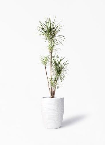 観葉植物 コンシンネ ホワイポリー 10号 ストレート サン ミドル リッジ 白 付き