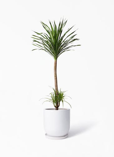 観葉植物 ドラセナ カンボジアーナ 10号 アファール 白 付き