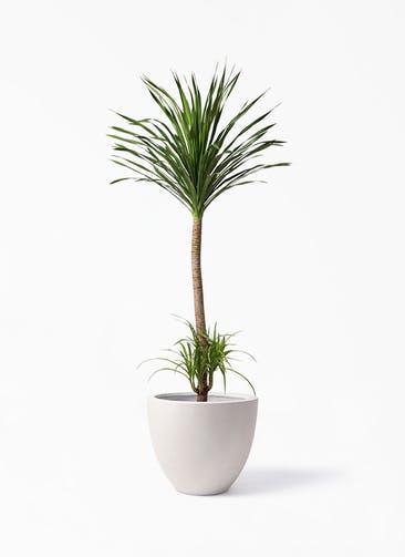 観葉植物 ドラセナ カンボジアーナ 10号 エルム ラウンド ベージュ 付き