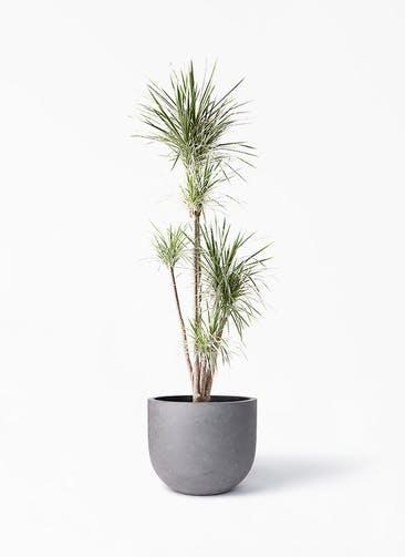 観葉植物 コンシンネ ホワイポリー 10号 ストレート コンカー ラウンド 付き