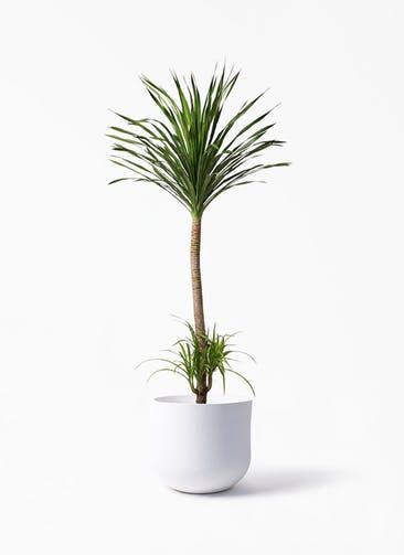 観葉植物 ドラセナ カンボジアーナ 10号 アユラニ ライレイ 付き