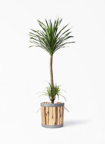 観葉植物 ドラセナ カンボジアーナ 10号 ウッドプランター シリンダー  付き