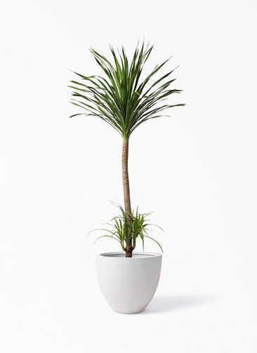 観葉植物 ドラセナ カンボジアーナ 10号 スタウト アッシュラウンド  付き