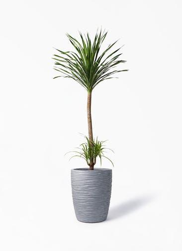 観葉植物 ドラセナ カンボジアーナ 10号 サン ミドル リッジ 灰 付き