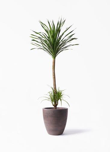 観葉植物 ドラセナ カンボジアーナ 10号 コーテス ラウンド ブラウン 付き
