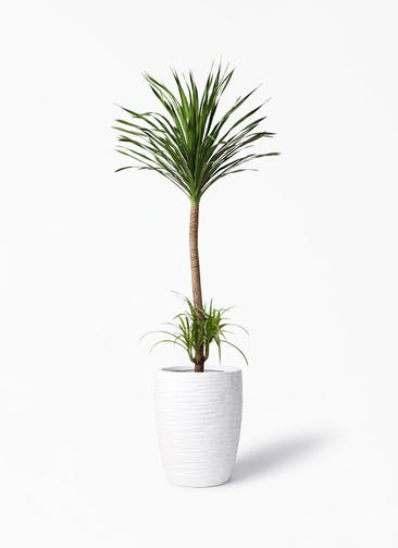 観葉植物 ドラセナ カンボジアーナ 10号 サン ミドル リッジ 白 付き