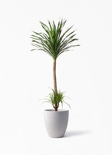 観葉植物 ドラセナ カンボジアーナ 10号 コーテス ラウンド ベージュ 付き