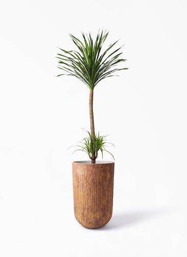 観葉植物 ドラセナ カンボジアーナ 10号 バル トール ラスティ 付き