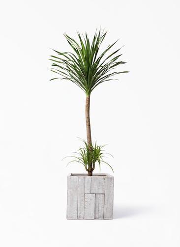 観葉植物 ドラセナ カンボジアーナ 10号 パターン キューブ 付き