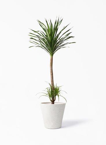 観葉植物 ドラセナ カンボジアーナ 10号 ビアスソリッド アイボリー 付き