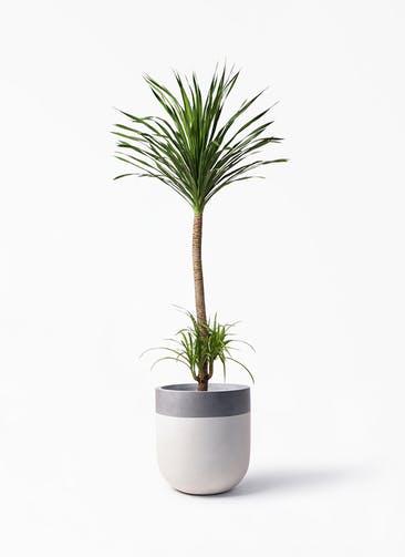 観葉植物 ドラセナ カンボジアーナ 10号 バルゴ ツートーン  サンディホワイト 付き