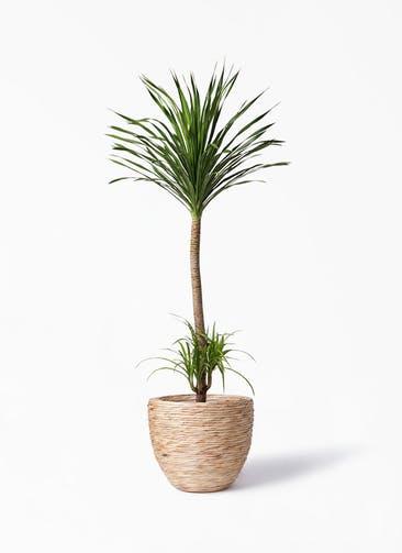観葉植物 ドラセナ カンボジアーナ 10号 マラッカ ウォーターヒヤシンス 付き