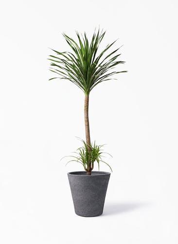 観葉植物 ドラセナ カンボジアーナ 10号 ビアスソリッド ブラック 付き