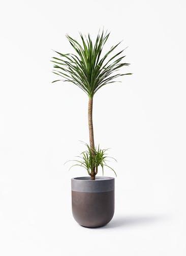 観葉植物 ドラセナ カンボジアーナ 10号 バルゴ ツートーン マットブラウン 付き