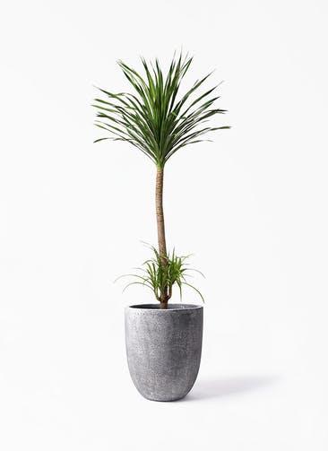観葉植物 ドラセナ カンボジアーナ 10号 フォリオアルトエッグ ブラックウォッシュ 付き