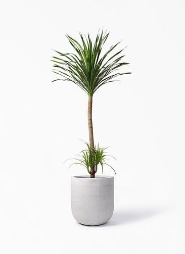 観葉植物 ドラセナ カンボジアーナ 10号 バルゴ モノ ライトグレー 付き