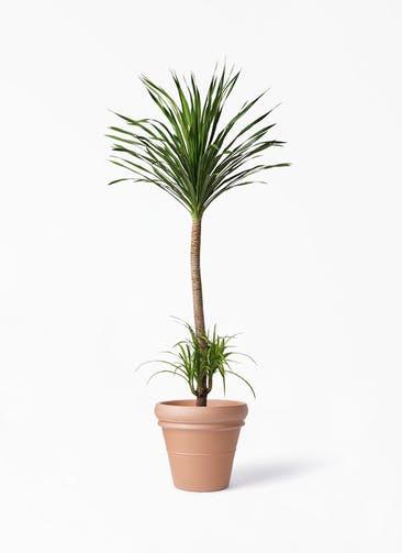 観葉植物 ドラセナ カンボジアーナ 10号 トスカーナ リムポット 付き