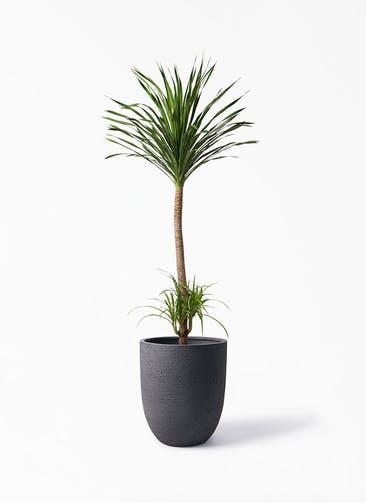 観葉植物 ドラセナ カンボジアーナ 10号 ビアスアルトエッグ ブラック 付き