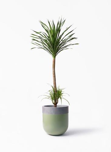 観葉植物 ドラセナ カンボジアーナ 10号 バルゴ ツートーン 緑 付き