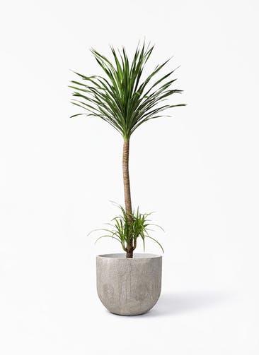 観葉植物 ドラセナ カンボジアーナ 10号 バル ユーポット アンティークセメント 付き