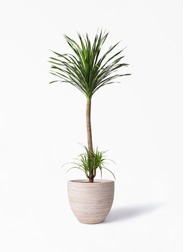 観葉植物 ドラセナ カンボジアーナ 10号 マラッカ クリームウォッシュ 付き