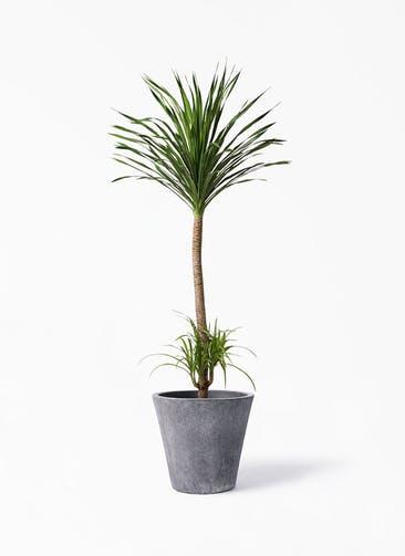 観葉植物 ドラセナ カンボジアーナ 10号 フォリオソリッド ブラックウォッシュ 付き