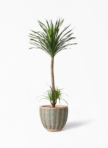 観葉植物 ドラセナ カンボジアーナ 10号 マラッカ ダイドグリーン 付き