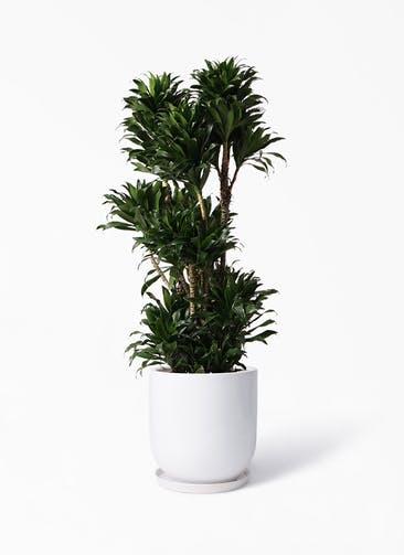 観葉植物 ドラセナ コンパクター 10号 アファール 白 付き