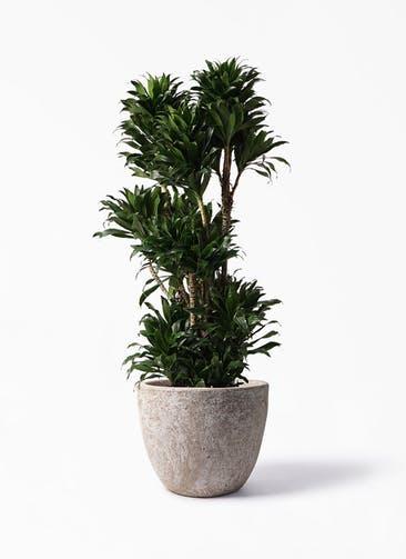 観葉植物 ドラセナ コンパクター 10号 アビスソニア ラウンド 付き