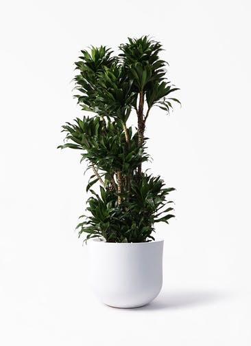観葉植物 ドラセナ コンパクター 10号 アユラニ ライレイ 付き