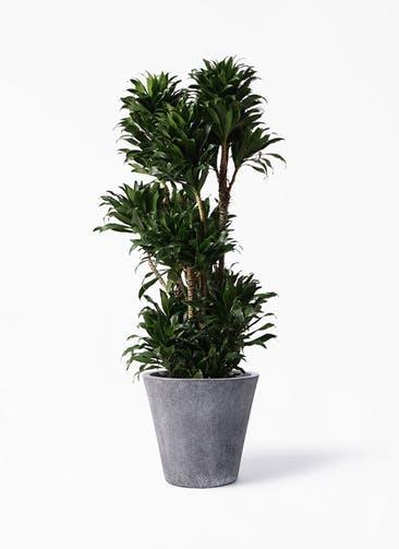 観葉植物 ドラセナ コンパクター 10号 フォリオソリッド ブラックウォッシュ 付き