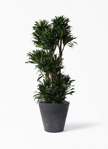 観葉植物 ドラセナ コンパクター 10号 アートストーン ラウンド ブラック 付き
