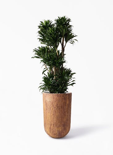観葉植物 ドラセナ コンパクター 10号 バル トール ラスティ 付き