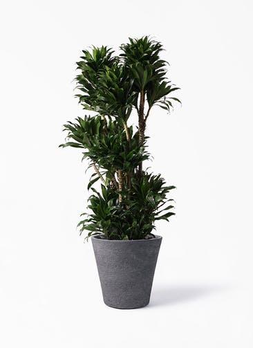 観葉植物 ドラセナ コンパクター 10号 ビアスソリッド ブラック 付き