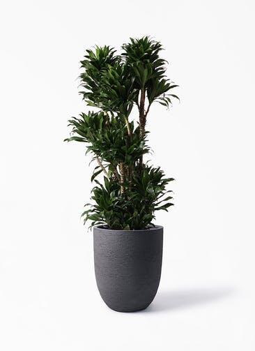観葉植物 ドラセナ コンパクター 10号 ビアスアルトエッグ ブラック 付き