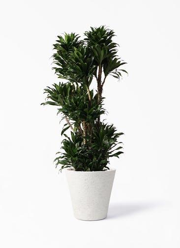 観葉植物 ドラセナ コンパクター 10号 ビアスソリッド アイボリー 付き