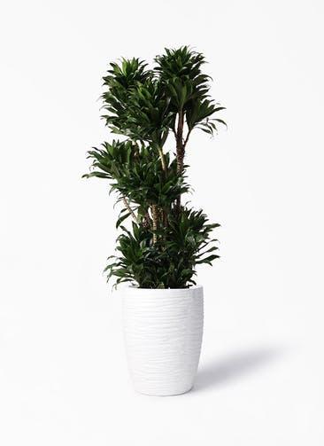 観葉植物 ドラセナ コンパクター 10号 サン ミドル リッジ 白 付き