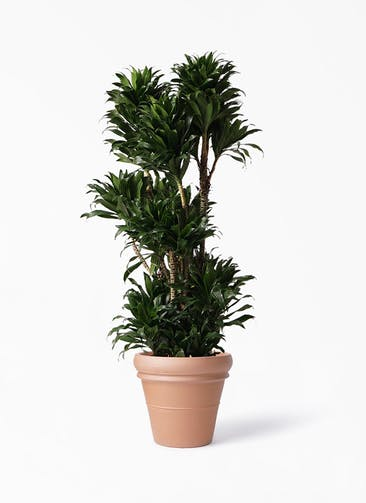 観葉植物 ドラセナ コンパクター 10号 トスカーナ リムポット 付き