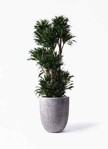 観葉植物 ドラセナ コンパクター 10号 フォリオアルトエッグ ブラックウォッシュ 付き