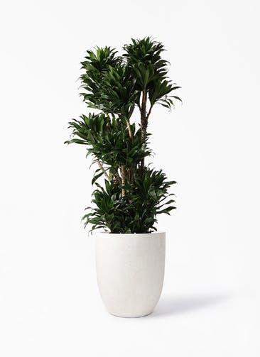 観葉植物 ドラセナ コンパクター 10号 フォリオアルトエッグ クリーム 付き