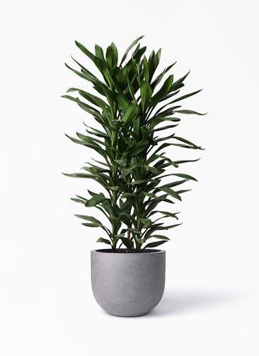 観葉植物 ドラセナ グローカル 10号 コンカー ラウンド 付き