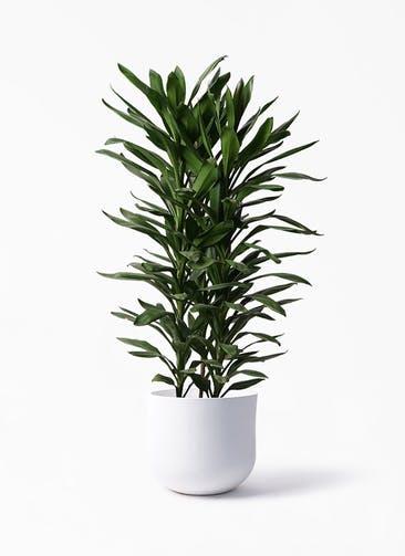観葉植物 ドラセナ グローカル 10号 アユラニ ライレイ 付き