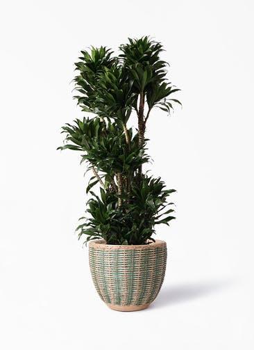 観葉植物 ドラセナ コンパクター 10号 マラッカ ダイドグリーン 付き