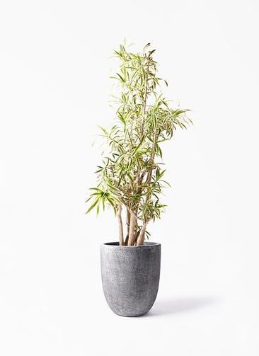 観葉植物 ドラセナ ソング オブ インディア 10号 フォリオアルトエッグ ブラックウォッシュ 付き