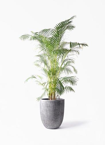 観葉植物 アレカヤシ 10号 フォリオアルトエッグ ブラックウォッシュ 付き