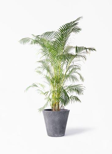 観葉植物 アレカヤシ 10号 フォリオソリッド ブラックウォッシュ 付き