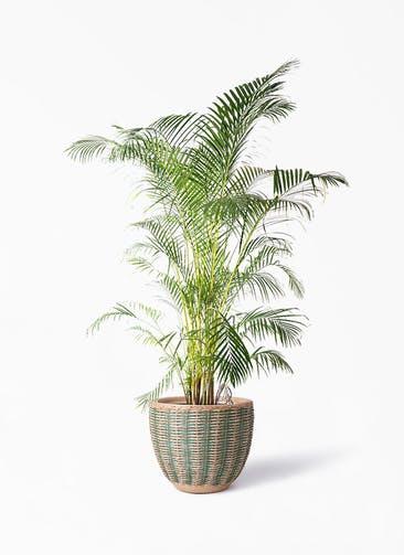 観葉植物 アレカヤシ 10号 マラッカ ダイドグリーン 付き